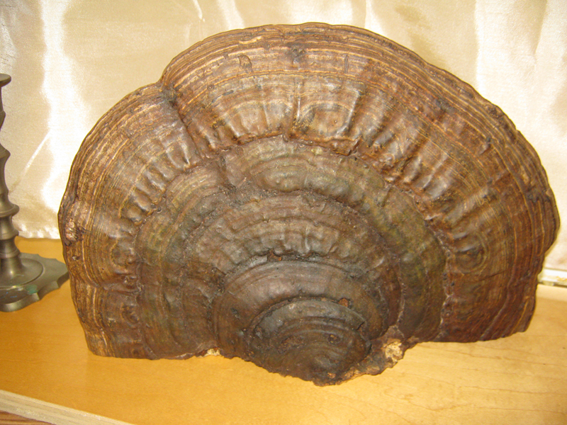 Real Mushroom decorative mantle art